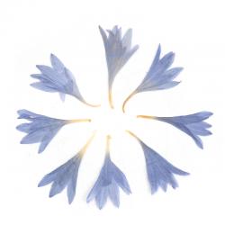 Getrocknete Kornblume Blau 20mm x 13mm..
